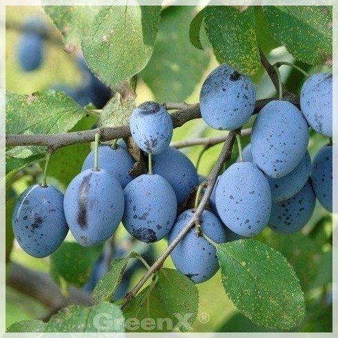 Prunus_domestica_Hauszwetsche_Wolff_450195_M1_
