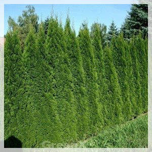 Thuja_occidentalis_Smaragd_101020_02_